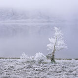 White Lightning Tree, Loch A Chroisg, Achnasheen, Scotland, tree, freeze, thaw, frozen, winter, hints, colour, ice, refl photo