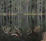 Who Drowned Rudolf, Uath Lochans, Cairngorm, Scotland, pine, woods, snag, birch, barcode, dead, twigs, water, lochan   photo