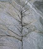 Winter Birch Slate, Talmine Bay, Sutherland, Scotland, abstract, cracks, limbs, naked, tree, bleak, pastel, birch  photo