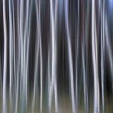 Woodland Fairytale, Loch an Eilein, Cairngorm, Scotland, woodland, square, surreal, birch, trunks, barcode, vaseline, sh photo