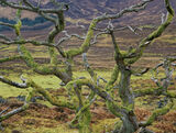 World Wide Web, Broadford, Skye, Scotland, twisted, old, tree, dead, witches, bizarre, moss, branches, limbs, green, web photo