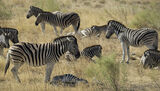 Zebra Crossing 2, Etosha, Namibia, Africa, herd, separated, neighbour, stood, basked, directions photo