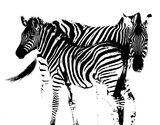 Zebra Etching, Etosha, Namibia, Africa, mother, foal, field, golden, grasses, backlit, black and white, stripes, stylise photo