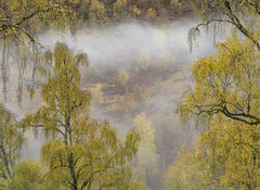 A Mist Rolls In, Glen Affric, Highlands, Scotland, band, mist, atmospheric, autumnal, golden, birch, valley, wafted, den