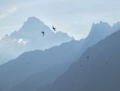 Alpine Swifts, Les Houches, Chamonix, France, alps, recessive, layering, misty, mountains, speck, freeze, view