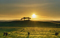 An island of scots pine trees in a verdant green field in Gollanfield near Nairn complete with grazing cows and a setting sun behind the silhouetted trees.