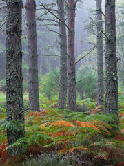Copper coloured bracken amongst the fresh green fronds of summer are a welcome splash of colour amidst the sombre light of a grey misty dawn at Blairs Loch.