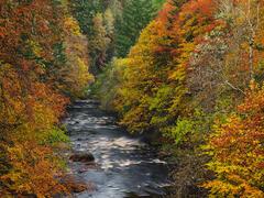 Autumn Dazzle River Findhorn, Randolphs Leap, Moray, Scotland, vibrancy, colour, fiery, beech, birch, pine, larch, dazzl