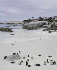 Bathing Beauties, Boulders Beach, Simonstown, South Africa, beach, colony, Jackass Penguins, sea, magic, braying, touris