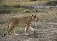Big Cat, Chobe, Botswana, Africa, lion, lioness, active, cubs, sub-sonic, growl, endowed, status, food chain