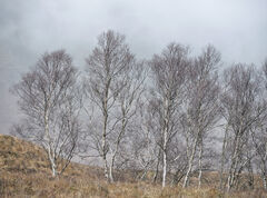 Birch Grove Glen Etive