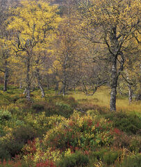 Birch and Blaeberry