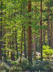 Some Birch trees striving for their share of the light between a pine forest around Blairs Loch in Forres.