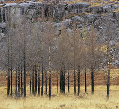 Charred Pines Torridon