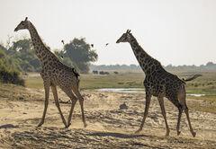 Chobe Giraffe, Chobe, Botswana, Africa, giraffe, elegant, favourites, cantering, gigantic, strides, oxpecker, elephant,
