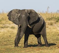 Confrontation, Elephant Sands, Botswana, Africa, magical, evening, drive, wildlife, elephants, shaking, bellowing, size