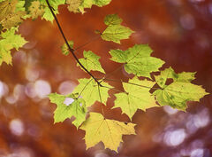 Copper Leaf, Badgers Mount, Kent, England, leaves, change, beech, green, gold, copper, Sycamore, autumn, spray, shallow,