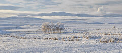 Crask Inn Birch Pano, Crask Inn, Sutherland, Scotland, farm, sheep, snow, birch, peaks, mountains, golden, sunlight, whi