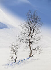 Curvaceous, Bothkollen, Anderdalen Nat Park, Norway, pleasure, impression, perfection, beautiful, trees, winter, unspoil