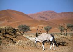 Diplomatic Immunity, Sossusvlei, Namibia, Africa, Gemsbok, Oryx, adapted, arid, Namibian, sand dunes, antelope, monochro