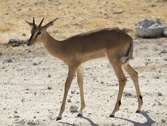 Elegant Impala, Etosha, Namibia, Africa, elegant, young, female, immaculate, dainty, composure, long, slender, legs