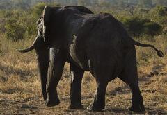 Elephant Bull Chobe, Chobe, Botswana, Africa, huge, beautiful, elephant, glisten, light, hide, wet, squirting, water