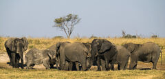 Elephant Gathering, Elephant Sands, Botswana, Africa, waterhole, evening, game drive, dry, wet, filthy, elephant, herd