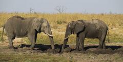 Elephant Mirror, Elephant Sands, Botswana, Africa, sparring, waterhole, evening, game drive, elephant, males, mirrored,