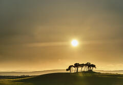 Misted silhouetted scots pine trees on an island of green verdant grassy fields against a setting sun at Gollanfield near Nairn.