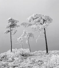 Family Tree Mono, Loch a Chroisg, Achnasheen, Scotland, trees, freezing, mist, family