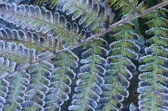 Frosted Bracken, Hayes Common, Kent, England, cold, winters, day, deciduous, woodland, frozen, ice, reflected, blue