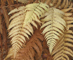Glen Affric Ferns, Glen Affric, Highlands, Scotland ferns, stone, rockery, sheltered, wind, delicate, pale, loam, elegan