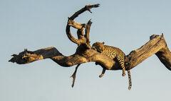Goldeneye, Chobe, Botswana, Africa, big five, killing, predator, leopard, fear, prostrate, branch, camel thorn tree,