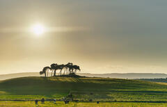 Grazing cows trooped into the buttercup field in front of the silhouetted island of Scots Pine trees at Gollanfield near Nairn.