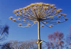 Hogweed in Blue, Hayes Common, Kent, England, giant, nasty, sap, toxic, eight feet, tall, winter, dried, sculpture, blue