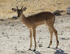 Immaculate, Etosha, Namibia, Africa, elegant, young, female, slender, legs, dainty, composure, impala