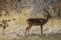 Impala Buck, Etosha, Namibia, Africa, impala, buck, harem, acacia, trees, leaves, dried