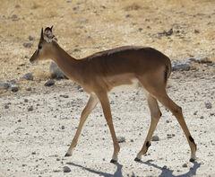 Impala Princess, Etosha, Namibia, Africa, elegant, young, impala, female, immaculate, composure, dainty, slender, legs