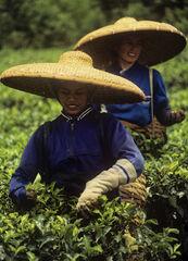 Javan Tea Pickers, Cicerua, Indonsia, S.E. Asia, tea, estates, green, plants, photogenic, plantation, Gunung Mas, Java