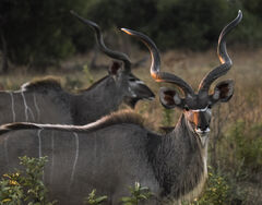 Kudu, Chobe, Botswana, Africa, big, male, Kudu, buck, impressive, spiral, curly, horns, sunset, shining, faces, marked