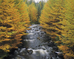 Larch River