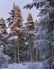 Last Light Winter Woodland