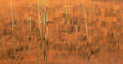 Lava Reeds