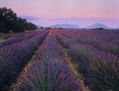 Lavender Blush