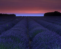 Lavender Flush, Valensole, Provence, France, fields, planted, line, sun, lavender, season, July, soft, rose, converging