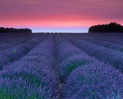 Lavender Flush