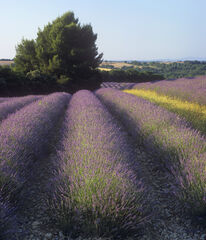 Lavender Fringe, Valensole, Provence, France, superb, lavender, fields, plateau, rows, bushy, yellow, blooms, flowers