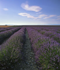 Lavender Plateau, Valensole, Provence, France, lavender, perfumed, plants, endless, infinity, geometrically, precise, ro