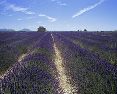 Lavender Convergence, Mezel, Provence, France, converging, rows, chalky, soil, clouds, striped, midday, reflected, blue