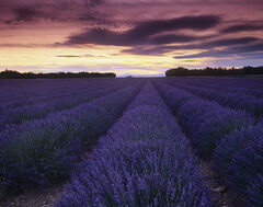 Scented Convergence, Valensole, Provence, France, lavender, rows, stretching, endless, afterglow, dusky, fields